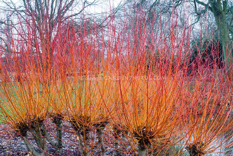 Salix alba var. vitellina Yelverton in red gold winter stems