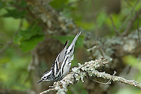 591350003 a wild adult male black and white warbler minolita varia sits on a branch in balcones canyonlands nwr texas