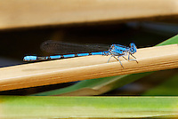 338430004 a wild male california dancer argia argioides perches on a grass stem along the frenchmans flat area of piru creek in los angeles county california united states
