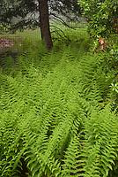 Dennstaedtia punctilobula, the hay-scented fern  (Hay-scented Fern) Hay-scented fern Dennstaedtia punctilobula