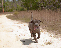 Gray Chow Mix Dog Running On A Sandy Road
