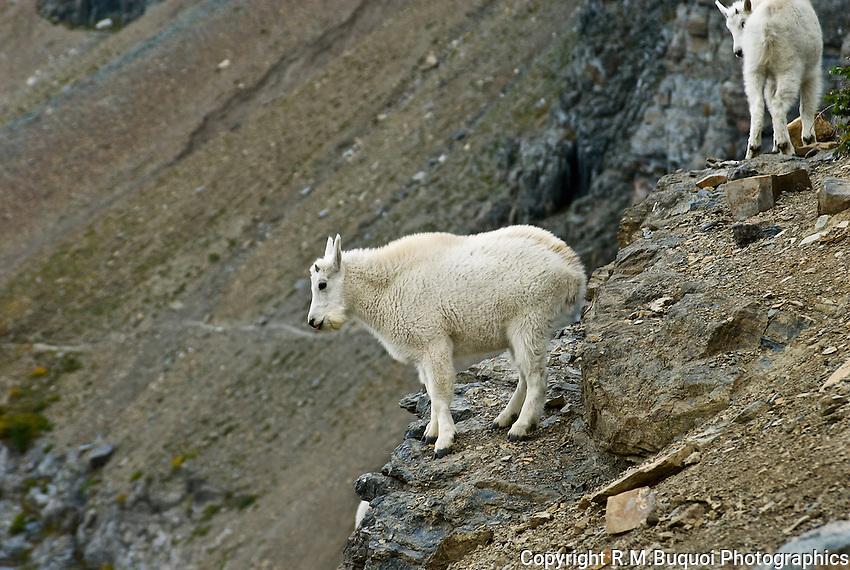 Rocky Mountain Goat, Glacier National Park