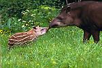 Tapirs, South America