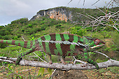 Panther Chameleon male walking along a branch (Furcifer pardalis), Montagne des Français Reserve, Antsiranana, Northern Madagascar