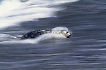 Harbor seal, California