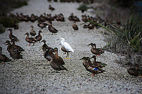 A Snowy egret is surrounded by female Mallards along a path at the Water Pollution Control Plant in  Sunnyvale, California.