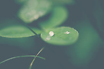 a clover with a drop of rain on it on a spring morning