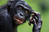 Bonobo mature male aged 17 years (Pan paniscus), Lola Ya Bonobo Sanctuary, Democratic Republic of Congo.