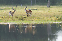A pair of red lechwe stand alert next to the waters edge, Botswana, Africa