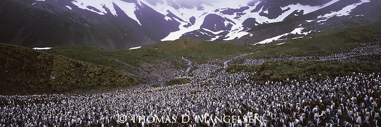 A king penguin colony at Right Whale Bay, in South Georgia.