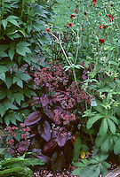 Sedum 'Purple Emperor' in bud with purple foliage with red Geum flowers, Rumex