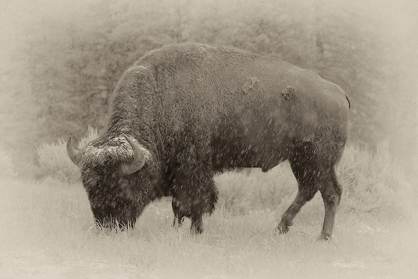 Bison Snow