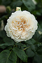 Rosa Tranquility ('Ausnoble'). An English Musk hybrid first introduced by David Austin in 2012.