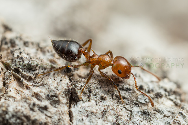 An Acrobat Ant (Crematogaster laeviuscula) forages for food.