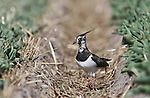 Foto: VidiPhoto<br /> <br /> NOORDWIJKERHOUT &ndash; Een kievit is maandag op weg naar zijn nest tussen de tulpen (&quot;Orange Princess&quot;) van bloembollenbedrijf JUB Holland in Noordwijkerhout. Tellingen wijzen uit dat deze weidevogel bij uitstek steeds vaker een broedplek vindt in bollenvelden. Tussen tulpen en andere bolgewassen voelen de vogels zich blijkbaar veiliger voor eierrovers als kraai, ekster en vos dan in een weiland. Bloembollentelers zien op hun met tarwestro gedekte percelen de laatste jaren steeds vaker nesten van vogels die op de Rode Lijst van bedreigde vogels staan zoals de tureluur, patrijs, veldleeuwerik en gele kwikstaart. Bollentelers werken samen met vrijwilligers van natuurverenigingen om de vogels en hun nesten te beschermen en te registeren.  Bovendien worden &lsquo;s zomers, na de broedtijd, veel percelen onder water gezet om bodemziekten op natuurlijke wijze te bestrijden. Voor veel vogels ontstaat zo een nieuw en aantrekkelijk foerageergebied.