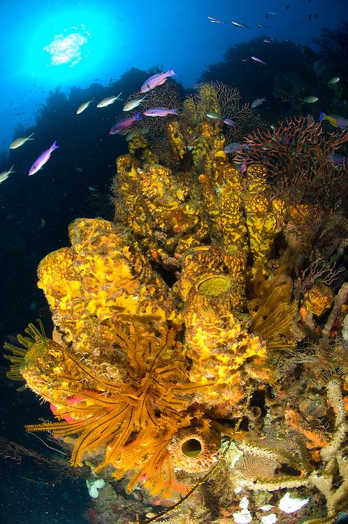 Yellow tube sponge: Aplysina fistularis with crinoid