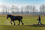 A young draft horse gets a workout on a January day, snorting steam into the cold air. It is pulling a steel aeration chain mat which weighs 500 pounds and effectively weighs 1000 with the drag.