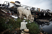 A cow grazes from amongst the e-waste, on the edge of Agbogbloshie dump, which has become a dumping ground for computers and electronic waste from all over the developed world. Hundreds of tons of e-waste end up here every month. It is broken apart, and those components that can be sold on, are salvaged.