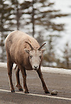 A ewe bighorn sheep stands on the Icefields Parkway in Alberta, Canada.