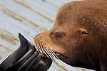 CA sea lion bull