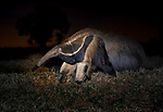 The giant anteater is the largest of the anteaters, reaching up to 140 pounds. Native to Central and South America, they eat tens of thousands of ants and termites each day. While they appear harmless, they can kill a person or fend off a jaguar with a swipe of their powerful tail.