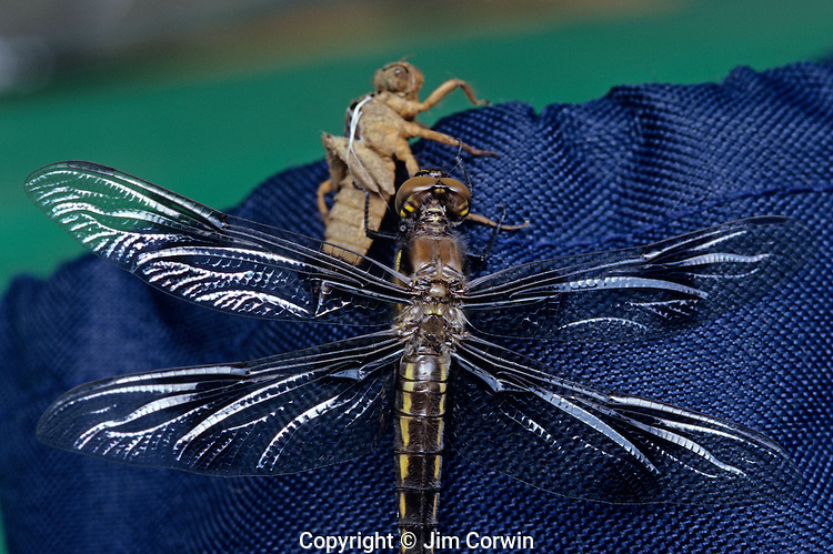 Dragonfly emerging from larva cocoon Lake Pleasant Bothell Washington State USA.
