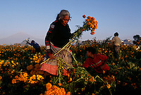 Families work at sunrise to pick flowers for Day of the Dead celebration under smoking volcano, Popocatepetl in Mexico. The pickers harvest zempazuchitl and other flowers for 8 pesos for a Maleta.<br />