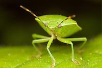 Green Stink Bug (Chinavia hilaris), West Harrison, Westchester County, New York