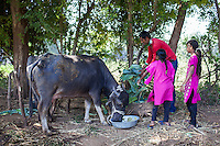 Dhiraj Khristi, 36, feeds his buffaloes at their farm house in Anand, Gujarat, India on 9th December 2012. Dhiraj's sister had convinced his wife Pinki to become a surrogate together in 2008 and Pinki has since done 2 surrogacies. While the couple used to make 2000-5000 rupees per month from farming and as labourers, she had made over 850,000 from both her surrogacies and had bought land, buffaloes and saved 320,000 rupees in a fixed deposit. They have both also convinced other villagers to become surrogates and earned a small amount from a successful introduction to Dr. Nayana Patel resulting in pregnancy. Photo by Suzanne Lee / Marie-Claire France