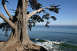 Cypress tree and surfers on 41st ave.