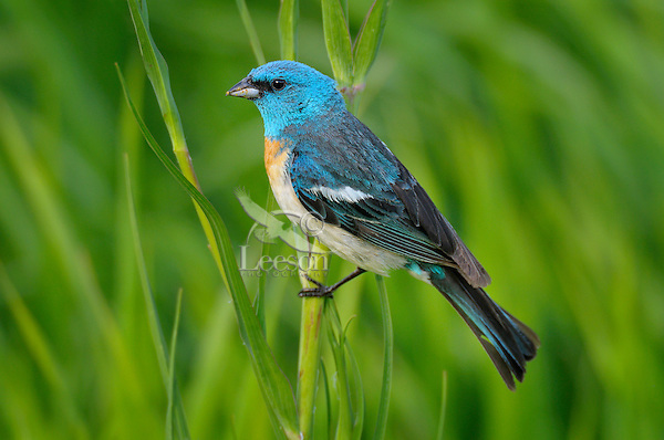 The Top Ten Blue birds you may see in your backyard.
