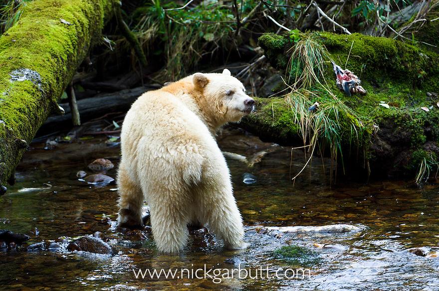 Adult Spirit Bear or Kermode Bear (Ursus americanus kermodei) - white morph of the black bear- by stream fishing for salmon. Princess Royal Island, Great Bear Rainforest, British Columbia, Canada