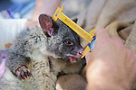 Measuring Mountain Brushtail Possum
