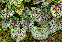 Heuchera &lsquo;Green Spice&rsquo;