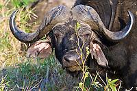 Cape Buffalo, Hluhluwe-Umfolozi NP, SA