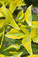 Cornus florida First Lady variegated foliage