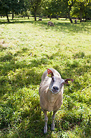 French sheep in an apple orchard at Trelly in Normandy, France
