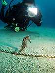 Kenting, Taiwan -- A Zebra-Snout Seahorse being photographed like a movie star.<br />
