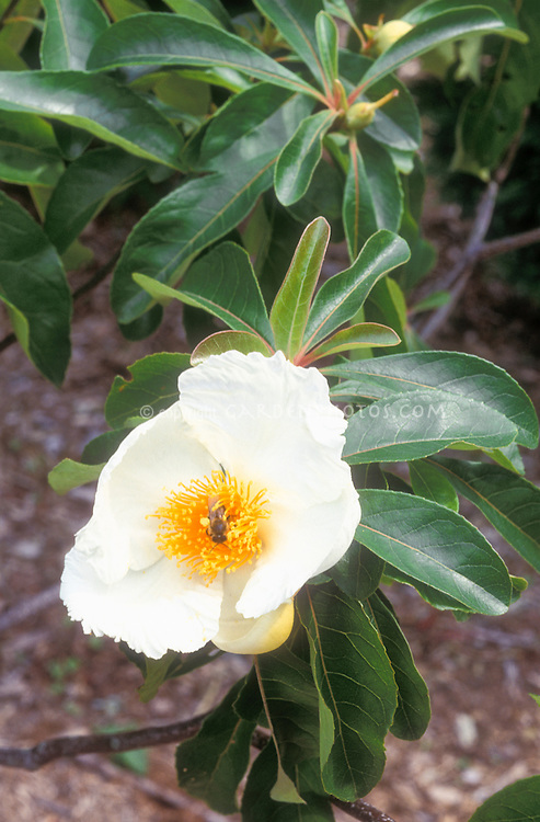 Franklin Tree, native American Franklinia alatamaha in white flower in spring