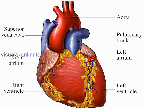 Medical illustration of the anatomy of the human heart from an anterior (front) view. Labels identify the superior vena cava, right atrium, right ventricle, aorta, pulmonary trunk, left atrium, and left ventricle.