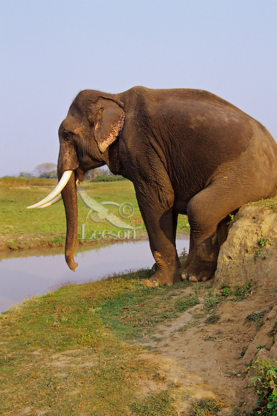 Indian Elephant or Asian Elephant bull (Elephas maximus).scratching rear on bank.  India.