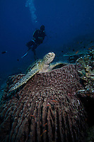 A turtle sitting in a coral is watched by divers. Sipadan island is known as one of the worlds top diving destinations due to it's coral reefs and rich wildlife.
