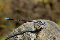 338610006 a wild juvenile male vivid dancer argia vivida perches on a rock along piru creek at frenchmans flat los angeles county california
