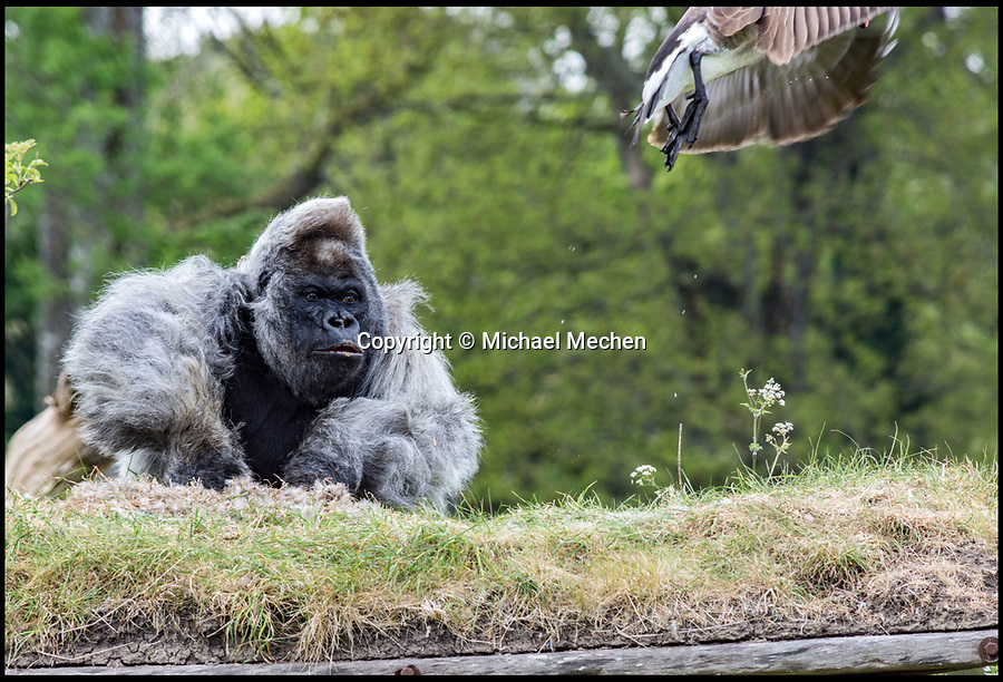 BNPS.co.uk (01202 558833)<br /> Pic: MichaelMechen/BNPS<br /> <br /> Get off my land... Nico pounds his fists to scare off the unwanted intruder.<br /> <br /> Europe&rsquo;s oldest gorilla ended up getting his feathers well and truly ruffled after a bizarre confrontation with a grumpy goose.<br /> <br /> Nico, a 55-year-old silverback lowland gorilla, clearly didn&rsquo;t take kindly to a pair of Canada geese who attempted to invade his island home at Longleat Safari Park.<br /> <br /> The amazing encounter was captured on film by amateur photographer Michael Mechen during a visit to the Wiltshire safari park.