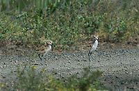 506850003 two wild american avocet precocial chicks recurvirostra americana forage along a dirt road in modoc national wildlife refuge california