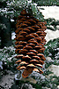 Winter Pinecone at the Bellagio Atrium, Las Vegas, Nevada