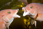 Catalina Island, Channel Islands, California; 2 female California Sheephead (Semicossyphus pulcher) posturing with eachother, mouth's open, Casino Point dive site , Copyright © Matthew Meier, matthewmeierphoto.com All Rights Reserved
