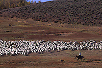 A herder moves his flock across Oregon's high desert adjacent to Steens Mountain Cooperative Management Area. In the late 19th century, ranchers brought in sheep to browse on public lands which stripped the land of native grasses and herbs.  Sheep are only allowed on private land in the region today.