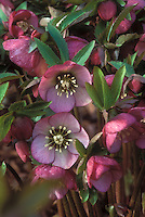 Helleborus hybridus - picotee