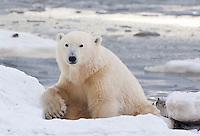 Polar Bear resting along the shores of the Hudson Bay